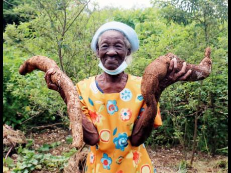 Ida Scott shows her cassava plants on her farm in Belmont, Bluefields, in Westmoreland.